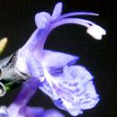 ローズマリー 東京都小平市・東京都薬用植物園 2017/04/08