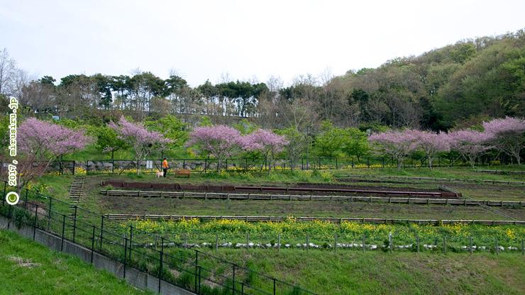 エドヒガン('大磯小桜') 大磯運動公園 2017/04/10