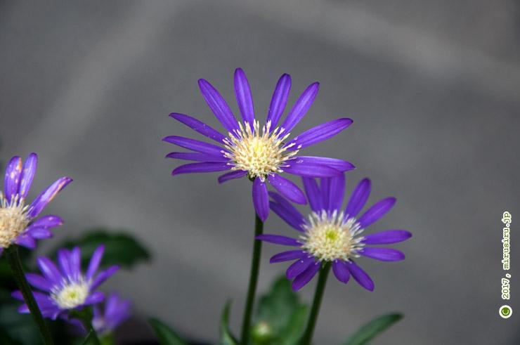 ミヤコワスレ(売り物) 箱根湿性花園 2017/04/10