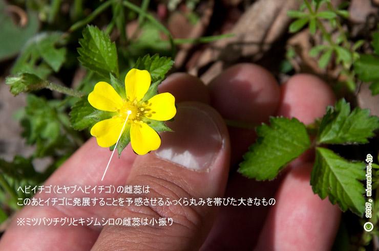 ヘビイチゴ 横浜市金沢区・金沢自然公園 2017/04/12