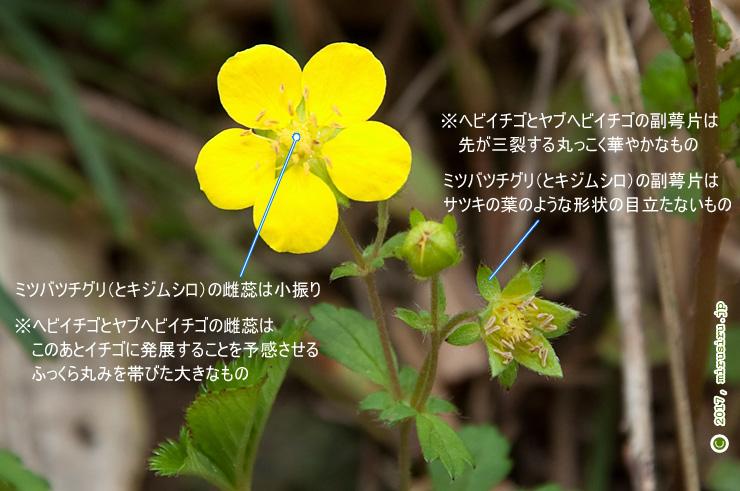 ミツバツチグリ 茅ケ崎里山公園 2017/04/17
