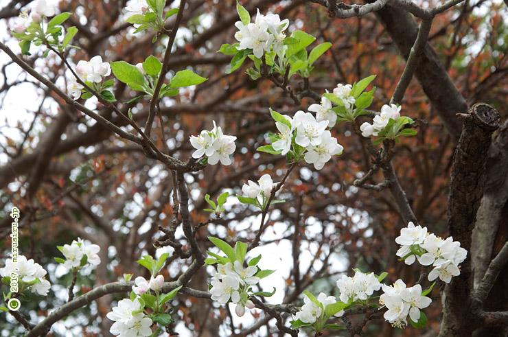 イヌリンゴ(ヒメリンゴ) 藤沢市・長久保公園 2017/04/17