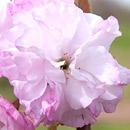ヤエザクラ 平塚市・花菜ガーデン 2017/04/21