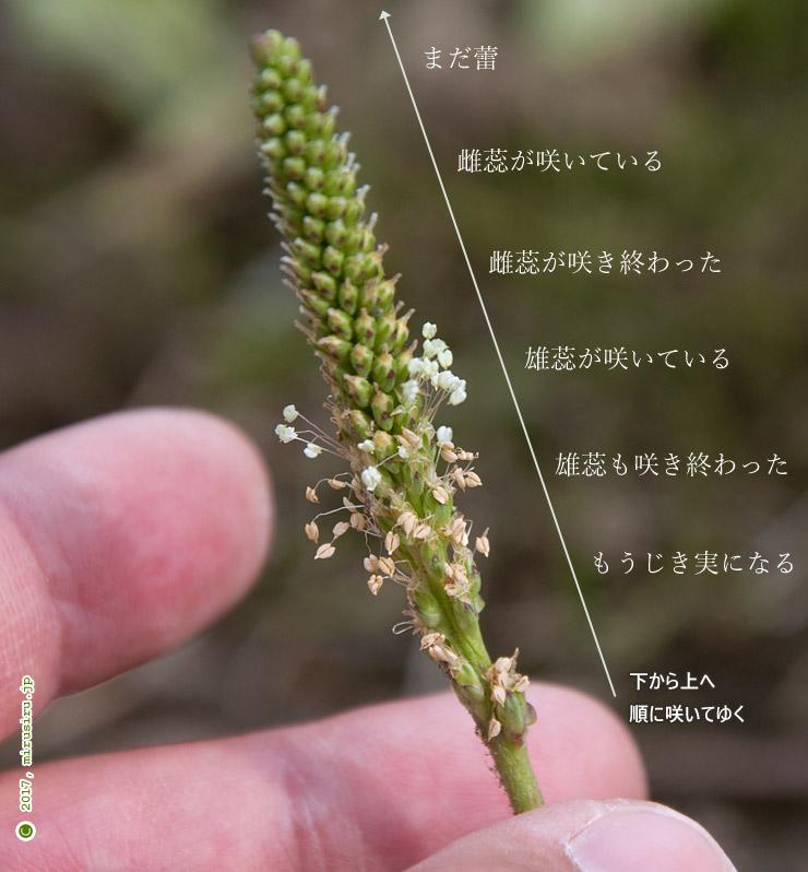 オオバコ 平塚市・花菜ガーデン 2017/04/21