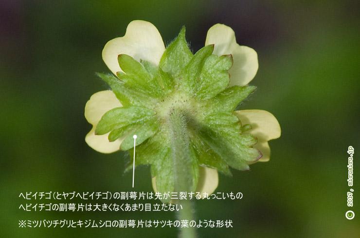 ヘビイチゴの副萼片 平塚市・花菜ガーデン 2017/04/21
