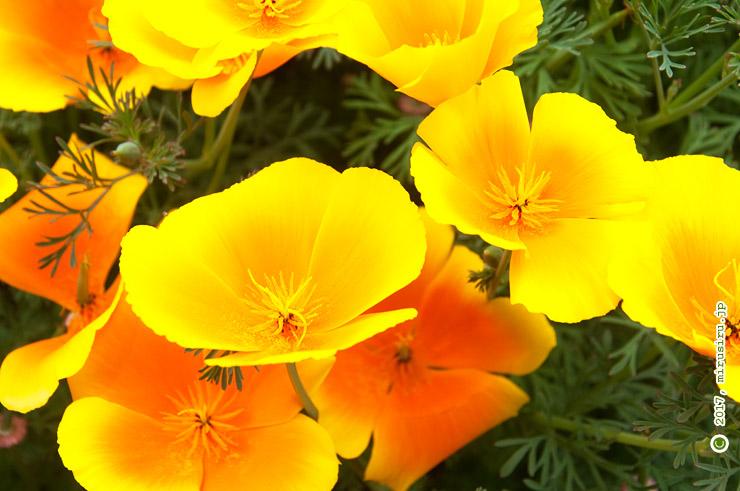 カリフォルニアポピー 東京都小平市・東京都薬用植物園 2017/05/09