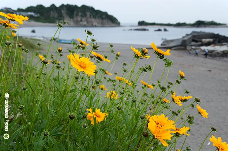 海辺でもへっちゃらなオオキンケイギク、背後は長者ヶ崎 葉山公園 2017/05/17