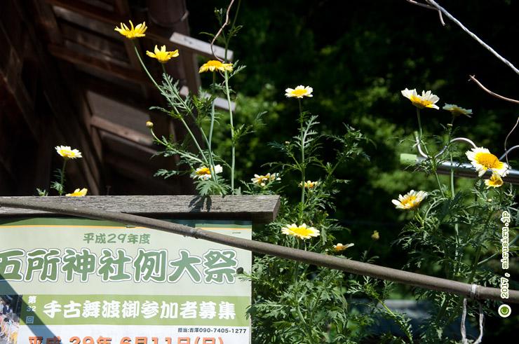 シュンギク 鎌倉市材木座・五所神社 2017/05/19