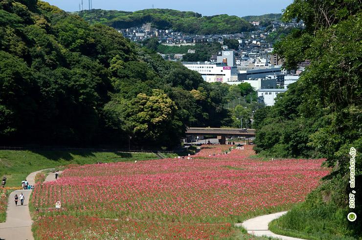 シャーレーポピー 横須賀市・くりはま花の国 2017/05/23
