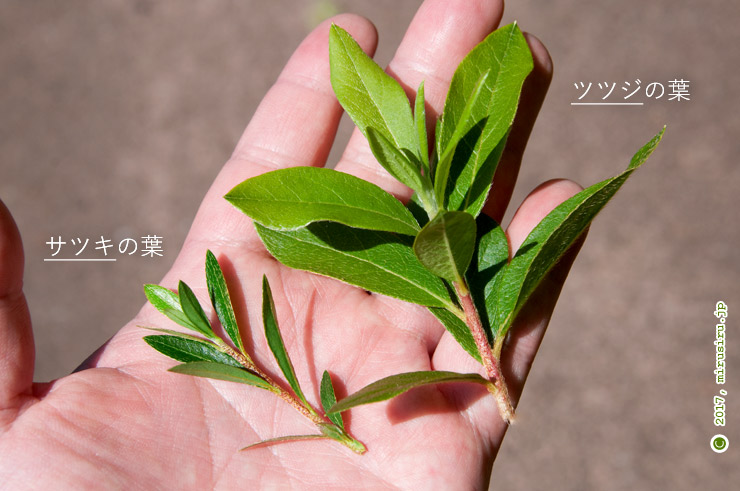 一般的なサツキ(向かって左の小さい方)とツツジ(右)の葉の違い 2017/05/23