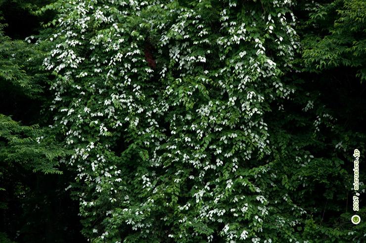 マタタビの開花中の白く色付いた葉 葉山町・南郷上ノ山公園 2017/06/09