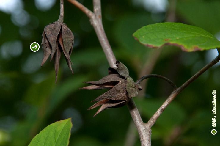 翌年の花期まで残ったナツツバキの実(矢印の先に種子) 藤沢市・新林公園 2017/06/12