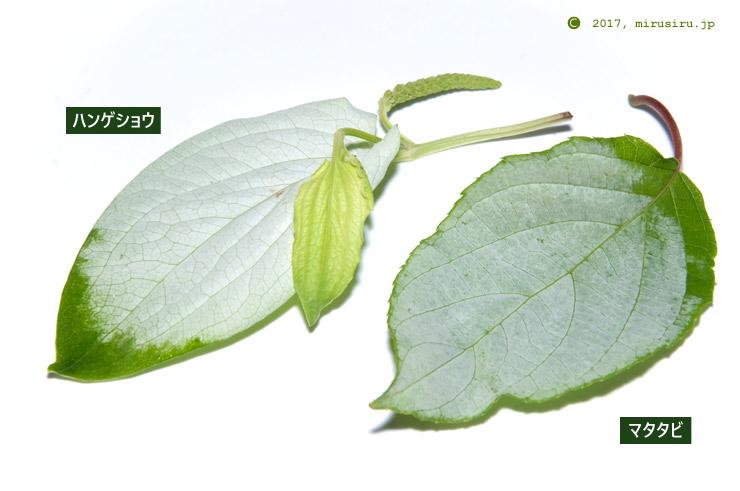 ハンゲショウ(向かって左側)とマタタビ(右)の白く色付いた葉の比較