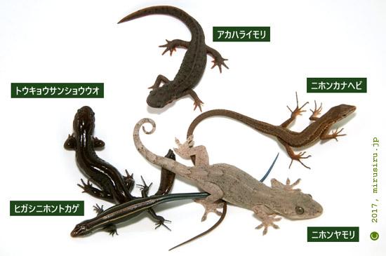 湘南・鎌倉・三浦半島で見られるトカゲ型生物一覧