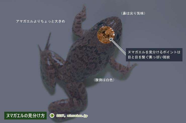 ヌマガエル(藤沢市・引地川親水公園湿性植物園産)の見分け方