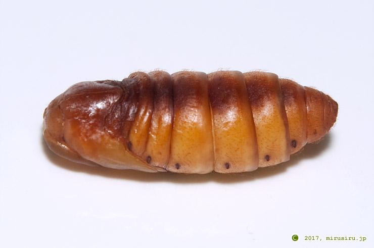 カイコの蛹(斜め上から、頭部は向かって左側) 2017/08/09