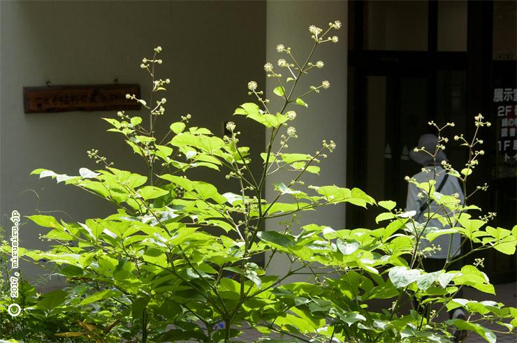 ウド 横浜市南区・こども植物園 2017/09/05