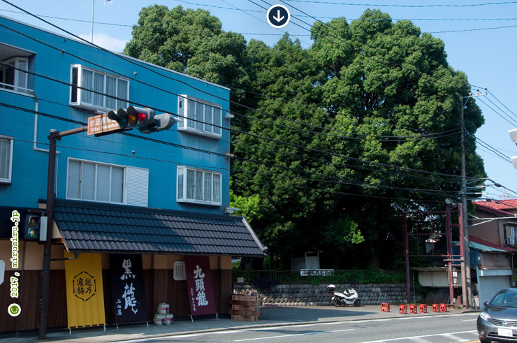 カゴノキ(入生田のカゴノキ) 小田原市 2017/09/09