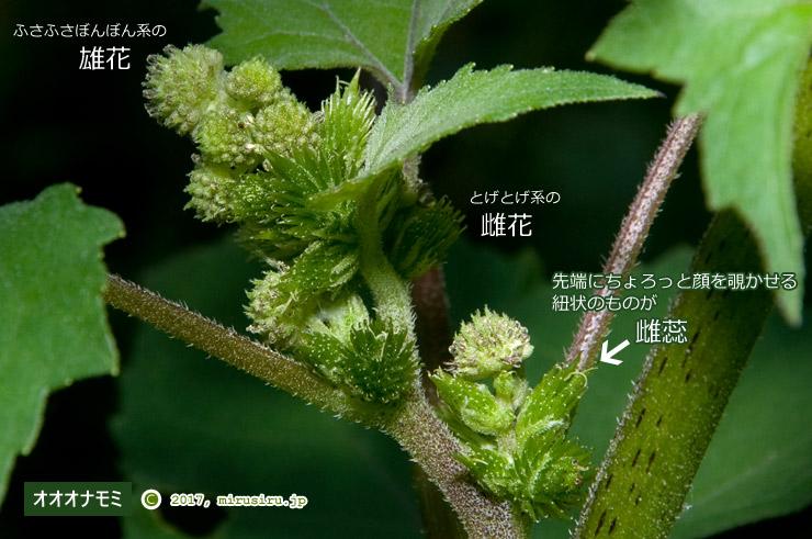 オオオナモミの雄花と雌花 鎌倉中央公園 2017/09/19