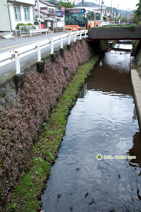 護岸ブロックに大群生したヒメツルソバ 鎌倉市岩瀬・砂押川 2011/11/08