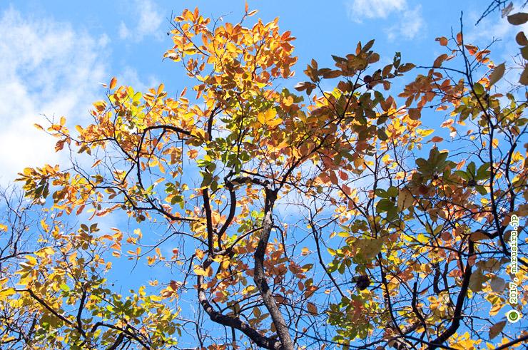カキノキの紅葉 横浜市都筑区・茅ヶ崎城址公園 2015/11/03