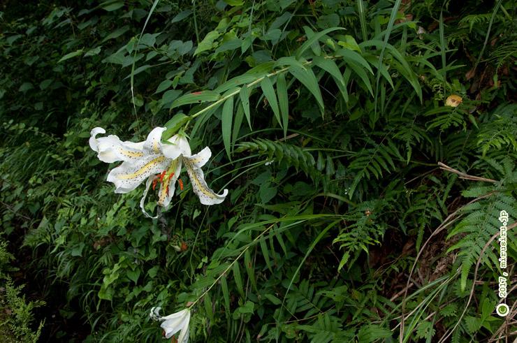 斜面から生えて下を向いて咲く、自然な姿のヤマユリ 鎌倉市・宅間ガ谷 2017/06/14