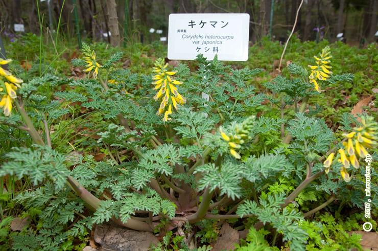 キケマン 東京都小平市・東京都薬用植物園 2017/04/08