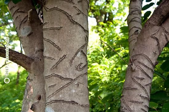 タイワンリスによるツバキの樹皮剥ぎ 横須賀市・衣笠山公園 2017/05/22