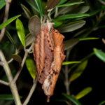 オオミノガの幼虫(ミノムシ)
