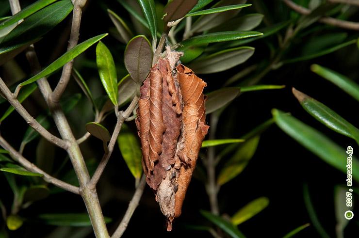 オオミノガの幼虫(ミノムシ)、オリーブの枝に 葉山町上山口・湘南国際村 2017/11/02