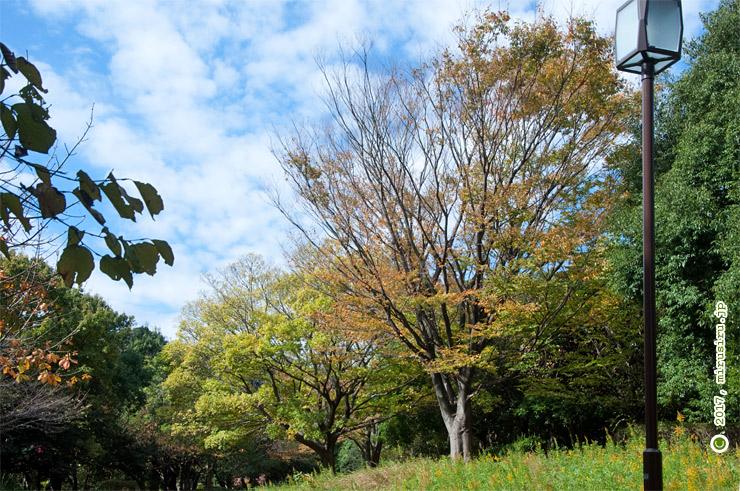 ケヤキの紅葉(その奥の黄緑色はエノキ) 横浜市金沢区・長沢公園 2017/11/12