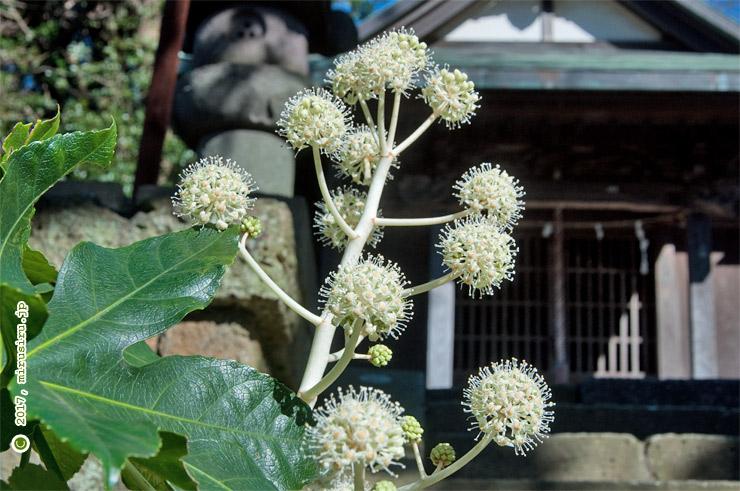 ヤツデ 鎌倉市西御門・八雲神社 2017/11/21