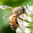 シロツメクサの蜜を集めるセイヨウミツバチ 寒川町小動 2016/05/04