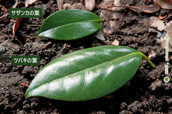 サザンカとツバキの葉の比較