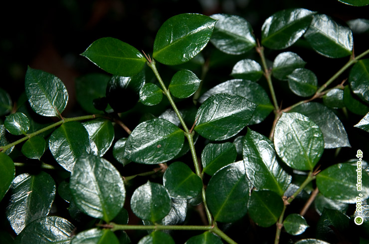 オオアリドオシ(ニセジュズネノキ)の葉と短い棘 平塚市・高麗山公園 2016/12/26