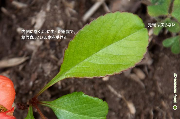 クサボケの葉 茅ケ崎里山公園 2017/03/29
