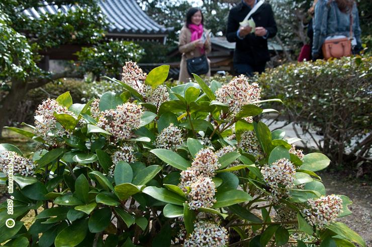 ミヤマシキミ(タチバナモッコク)の雄花 鎌倉市・浄妙寺 2017/04/02
