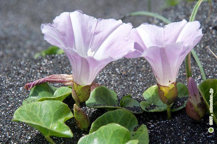 ハマヒルガオ 鎌倉海浜公園稲村ガ崎地区 2017/05/08