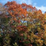 その他広葉樹の紅葉・黄葉
