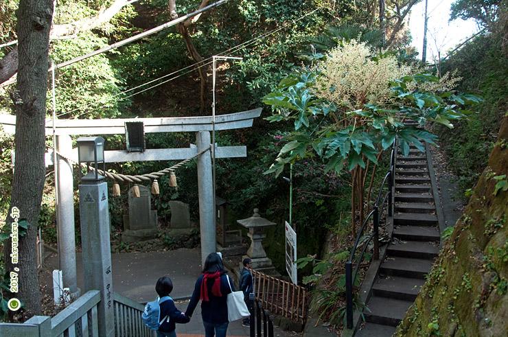 カミヤツデ 藤沢市江の島・児玉神社前 2017/12/16