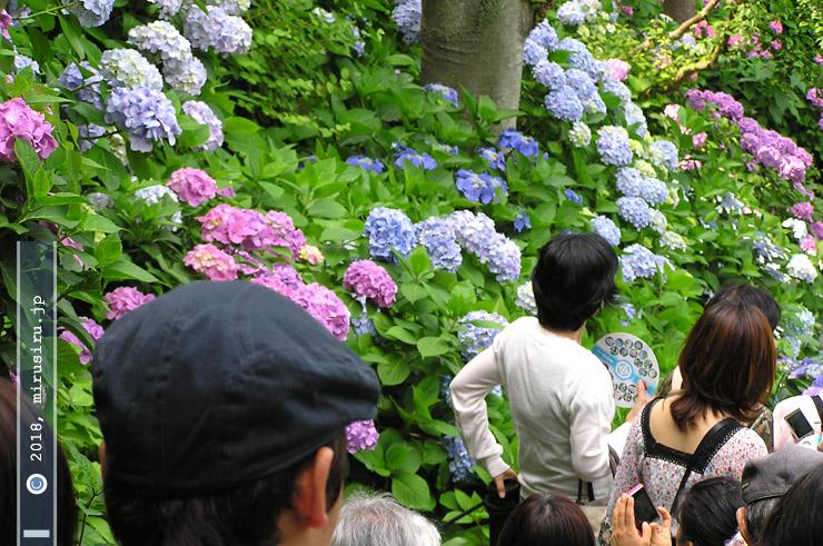 アジサイ 鎌倉市・長谷寺 2009/06/16