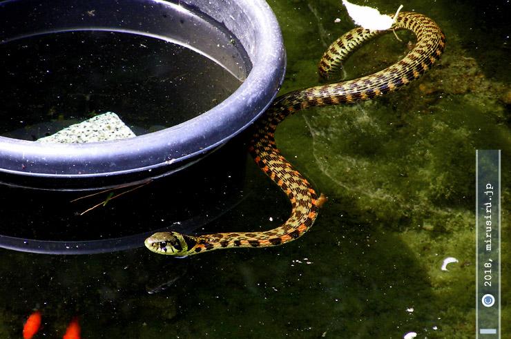 池を泳ぐヤマカガシ 鎌倉市・長谷寺 2009/06/16