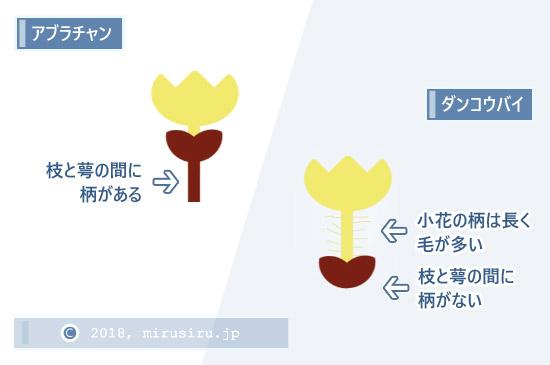 アブラチャンとダンコウバイの花の構造(模式図)