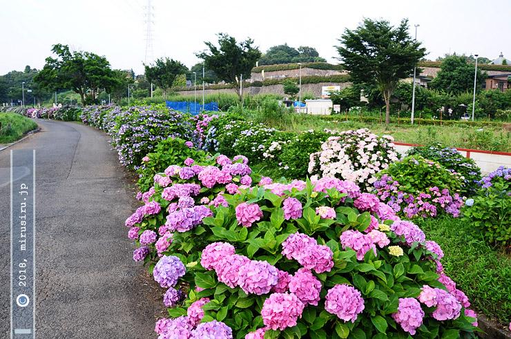 小出川「花とせせらぎの道」 藤沢市遠藤 2010/06/24