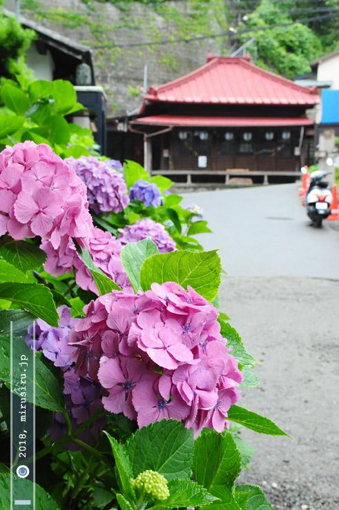 アジサイ 鎌倉市・導地蔵 2010/06/28