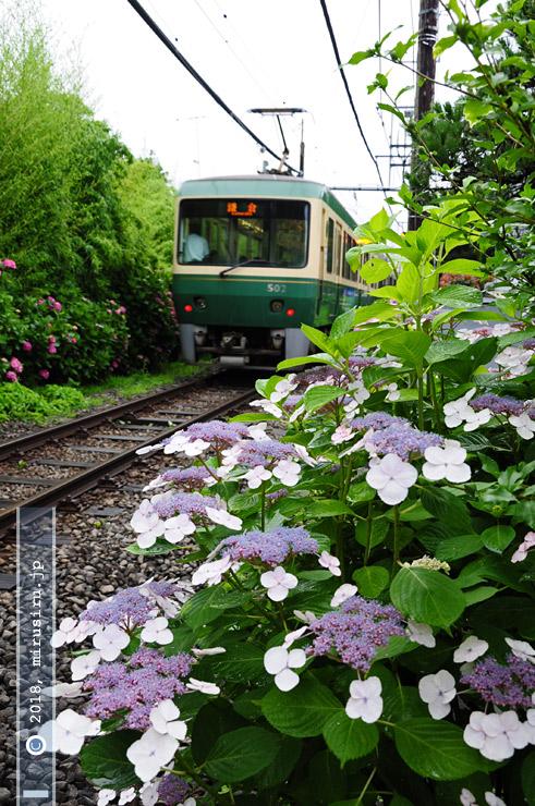 ガクアジサイ 鎌倉市・江ノ電・極楽寺1号踏切 2010/06/28
