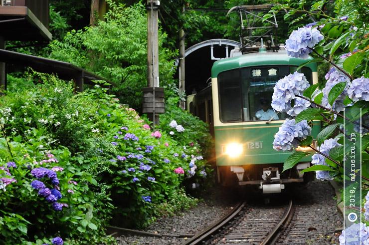 アジサイ 鎌倉市坂ノ下・御霊神社(権五郎神社) 2010/06/28