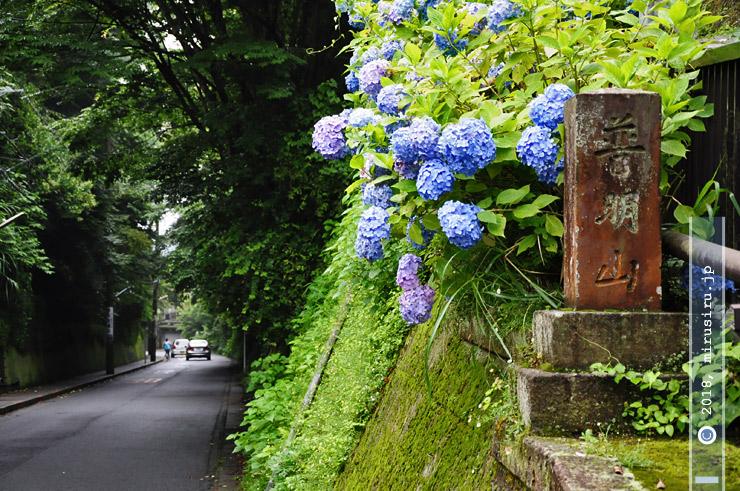 アジサイ 鎌倉市・極楽寺切通 2010/06/28