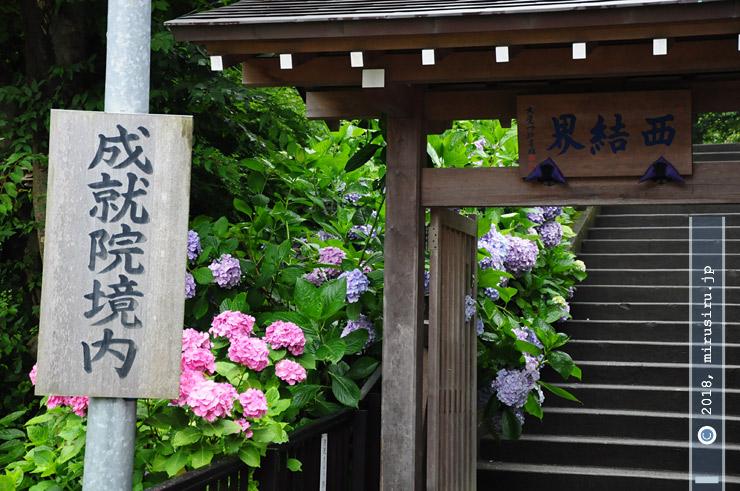 アジサイ 鎌倉市・成就院(あじさい寺) 2010/06/28
