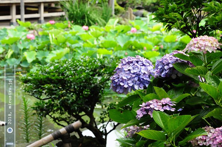テマリ咲きアジサイ 鎌倉市・光明寺 2010/07/01